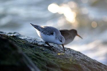 Sanderling feeding along the coast, USA birds,calidris,aves,sanderling,charadriiformes,calidris alba,chordata,scolopacidae,Sanderling,Calidris alba,Charadriiformes,Shorebirds and Terns,Chordates,Chordata,Sandpipers, Phalaropes,Scolopacidae,
