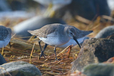 Dunlin foraging for food, USA Dunlin,Calidris alpina,Chordates,Chordata,Aves,Birds,Charadriiformes,Shorebirds and Terns,Sandpipers, Phalaropes,Scolopacidae,Ciconiiformes,Herons Ibises Storks and Vultures,purre,red-backed sandpiper