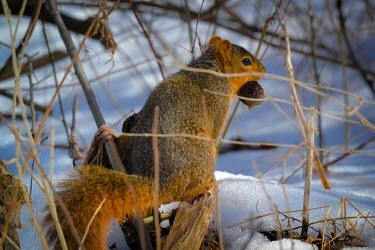 Eastern fox squirrel in snow, USA wintery,cold,Winter,chilly,Cold,omnivores,Omnivorous,Omnivore,snowy,Snow,Eastern fox squirrel,Sciurus niger,Rodents,Rodentia,Chordates,Chordata,Squirrels, Chipmunks, Marmots, Prairie Dogs,Sciuridae,Ma