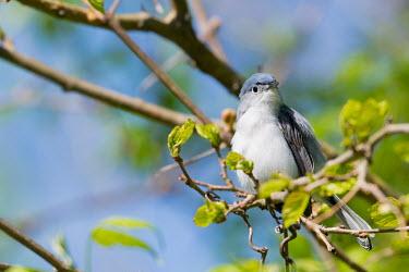 Blue-grey gnatcatcher, USA bird,birds,aves,gnatcatcher,passeriformes,blue gray gnatcatcher,polioptila caerulea,passerine,chordata,polioptila,blue grey gnatcatcher,polioptilidae,Blue-grey gnatcatcher,Polioptila caerulea