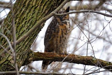 Great horned owl, USA Great horned owl,Bubo virginianus,Chordates,Chordata,True Owls,Strigidae,Owls,Strigiformes,Aves,Birds,Strix virginianus,Flying,Forest,Sub-tropical,North America,Broadleaved,Least Concern,Terrestrial,A