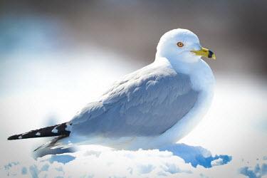 Ring-billed gull, USA coast,Coastal,coast line,coastline,environment,ecosystem,Habitat,Aquatic,water,water body,aves,larus,ring-billed gull,larus delawarensis,laridae,charadriiformes,chordata,Ring-billed gull,Larus delawar
