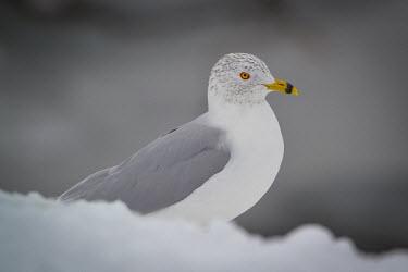 Ring-billed gull, USA aves,larus,ring-billed gull,larus delawarensis,laridae,charadriiformes,chordata,Ring-billed gull,Larus delawarensis