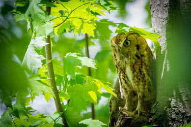Eastern screech-owl, USA Forest background,forest,woodlands,wood land,Woodlot,Woodland,Nocturnal,nocturn,leaf,leafy,Leafy background,leaves,Broadleaved woodland,Perching,perched,perch,Greenery,foliage,vegetation,rural,Country