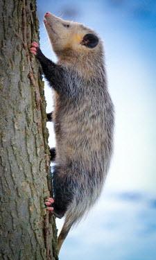 Virginia opossum climbing a tree, USA opossum,Mammalia,Virginia opossum,didelphis virginiana,chordata,marsupialia,didelphimorphia,didelphis,didelphidae,didelphinae,Didelphis virginiana
