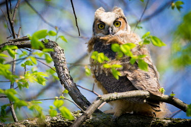 Great horned owl, USA Great horned owl,Bubo virginianus,Chordates,Chordata,True Owls,Strigidae,Owls,Strigiformes,Aves,Birds,Strix virginianus,Flying,Forest,Sub-tropical,North America,Broadleaved,Least Concern,Terrestrial,A