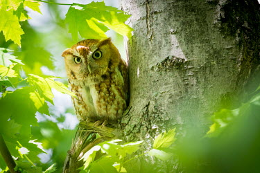 Eastern screech-owl, USA birds,wildlife,aves,owl,Eastern screech owl,screech owl,rufous morph,Animalia,Chordata,Strigiformes,Strigidae,Megascops asio,Eastern screech-owl