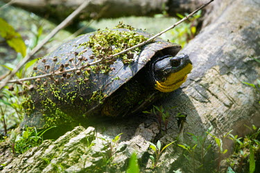 Blanding's turtle covered in pond weed, USA Blanding's turtle,Emydoidea blandingii,Pond Turtles,Emydidae,Reptilia,Reptiles,Chordates,Chordata,Turtles,Testudines,Emys blandingii,Cistuda blandingii,Aquatic,IUCN Red List,Ponds and lakes,North Amer