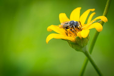 Leaf-cutter bee, USA colours,color,colors,Colour,leaf,leafy,Leafy background,leaves,Close up,Macro,macrophotography,yellow,coloration,Colouration,Green background,Greenery,foliage,vegetation,Green,bee,arthropoda,hymenopte