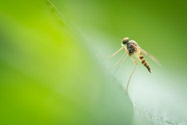 Snipe fly, USA fly,arthropoda,diptera,Insecta,snipe fly,chrysopilus,rhagionidae,orthorrhapha,tabanomorpha,chrysopilus modestus,Snipe fly