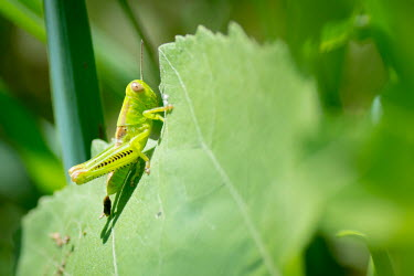 Two-striped grasshopper, USA Close up,yellow,colours,color,colors,Colour,coloration,Colouration,Greenery,foliage,vegetation,Macro,macrophotography,Green background,Green,leaf,leafy,Leafy background,leaves,insect,insects,grasshopp