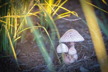 Fungi, USA Terrestrial,ground,colours,color,colors,Colour,Close up,environment,ecosystem,Habitat,woodlands,wood land,Woodlot,Woodland,orange,peach,coloration,Colouration,Macro,macrophotography,mushroom,fungi,bas