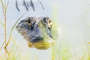 American alligator, USA Portrait,face picture,face shot,swamp,Terrestrial,ground,Lake,lakes,environment,ecosystem,Habitat,Aquatic,water,water body,Wetland,mire,muskeg,peatland,bog,American alligator,Alligator mississippiensi