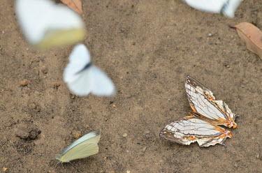 Common mapwing - Vietnam Common mapwing,Animalia,Insecta,Lepidoptera,Papilionidae,Nymphalidae,Cyrestinae,Cyrestis thyodamas,mapwing butterfly,butterfly,butterflies,insect,insects