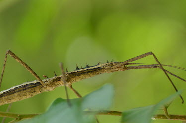 Stick insect - Vietnam Close up,blur,selective focus,blurry,depth of field,Shallow focus,blurred,soft focus,Macro,macrophotography,Animalia,Insecta,Phasmatodea,stick insect,insect,Stick insect