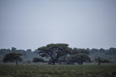Thomsons gazelle - Botswana, Africa Thomsons gazelle,Eudorcas thomsonii,Thomson's gazelle,Bovidae,Bison, Cattle, Sheep, Goats, Antelopes,Even-toed Ungulates,Artiodactyla,Mammalia,Mammals,Chordates,Chordata,Gazella thomsonii,Near Threate