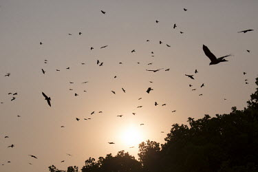 Raptors in the sky - Botswana, Africa in-air,in flight,flight,in-flight,flap,Flying,fly,in air,flapping,outline,silhouetted,shadow,Silhouette,shadows,silhouettes,action,movement,move,Moving,in action,in motion,motion,Sunrise sky,nightfall