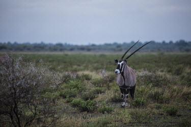Gemsbok - Botswana, Africa Horn,horns,Gemsbok,Oryx gazella,Bovidae,Bison, Cattle, Sheep, Goats, Antelopes,Chordates,Chordata,Mammalia,Mammals,Even-toed Ungulates,Artiodactyla,oryx,gazella,Herbivorous,Africa,Savannah,Desert,Anim