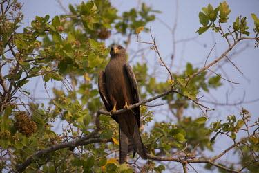 Yellow-billed kite - Botswana, Africa Milvus migrans spp.,subspecies,Yellow-billed kite,Milvus aegyptius