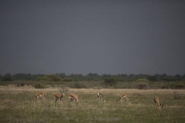 Dorcas gazelle - Botswana, Africa Dorcas gazelle,Gazella dorcas,Chordates,Chordata,Even-toed Ungulates,Artiodactyla,Bovidae,Bison, Cattle, Sheep, Goats, Antelopes,Mammalia,Mammals,Gacela Dorcas,Gazelle Dorcas,Terrestrial,Appendix III,