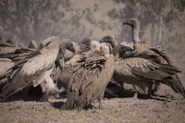 White-backed vulture flock around an animal carcass - Botswana, Africa food,feed,hungry,eat,hunger,Feeding,eating,White-backed vulture,Gyps africanus,Accipitridae,Hawks, Eagles, Kites, Harriers,Falconiformes,Hawks Eagles Falcons Kestrel,Aves,Birds,Chordates,Chordata,Afri