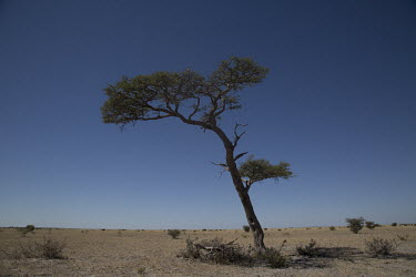 Acacia tree - Botswana, Africa arid,drought,waterless,no water,dried up,barren,baked,Dry,parched,moistureless,dry,Arid,Sky,Terrestrial,ground,Dry weather,Xeric,Desert,blue skies,sunny,Blue sky,bright,environment,ecosystem,Habitat,b