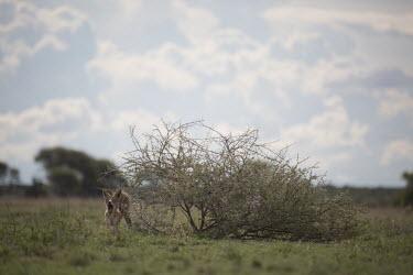 Jackal yawning - Botswana, Africa Jackal,canine,wild dog