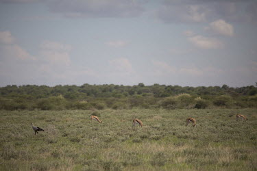 Secretarybird near grazing gazelle - Botswana, Africa Secretarybird,Sagittarius serpentarius,Falconiformes,Hawks Eagles Falcons Kestrel,Sagittariidae,Aves,Birds,Ciconiiformes,Herons Ibises Storks and Vultures,Chordates,Chordata,secretary bird,Serpentaire