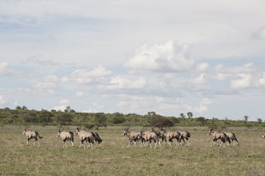 Gemsbok - Botswana, Africa Gemsbok,Oryx gazella,Bovidae,Bison, Cattle, Sheep, Goats, Antelopes,Chordates,Chordata,Mammalia,Mammals,Even-toed Ungulates,Artiodactyla,oryx,gazella,Herbivorous,Africa,Savannah,Desert,Animalia,Least