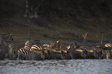 Plains zebra drinking in a river - Botswana, Africa River,rivers,environment,ecosystem,Habitat,herds,gamming,Herd,herding,assemble,drink,thirst,drinks,Drinking,thirsty,Aquatic,water,water body,Plains zebra,Equus quagga,Chordates,Chordata,Perissodactyla