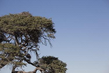 White-backed vulture nesting - Botswana, Africa Nesting,brooding,nest,clutch,nests,brood,White-backed vulture,Gyps africanus,Accipitridae,Hawks, Eagles, Kites, Harriers,Falconiformes,Hawks Eagles Falcons Kestrel,Aves,Birds,Chordates,Chordata,Africa