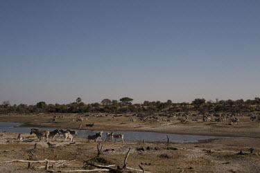 A herd of plains zebra by a river - Botswana, Africa herds,gamming,Herd,herding,assemble,Plains zebra,Equus quagga,Chordates,Chordata,Perissodactyla,Odd-toed Ungulates,Equidae,Horses, Donkeys, Zebras,Mammalia,Mammals,painted zebra,common zebra,Equus bur