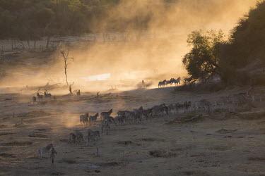 A herd of plains zebra - Botswana, Africa herds,gamming,Herd,herding,assemble,Atmospheric,Plains zebra,Equus quagga,Chordates,Chordata,Perissodactyla,Odd-toed Ungulates,Equidae,Horses, Donkeys, Zebras,Mammalia,Mammals,painted zebra,common zeb