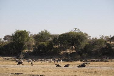 A herd of plains zebra amongst blue wildebeest - Botswana, Africa herds,gamming,Herd,herding,assemble,Plains zebra,Equus quagga,Chordates,Chordata,Perissodactyla,Odd-toed Ungulates,Equidae,Horses, Donkeys, Zebras,Mammalia,Mammals,painted zebra,common zebra,Equus bur