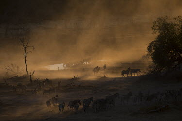 A herd of plains zebra - Botswana, Africa Atmospheric,herds,gamming,Herd,herding,assemble,Plains zebra,Equus quagga,Chordates,Chordata,Perissodactyla,Odd-toed Ungulates,Equidae,Horses, Donkeys, Zebras,Mammalia,Mammals,painted zebra,common zeb
