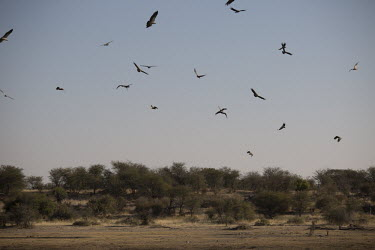 White-backed vulture circling - Botswana, Africa in-air,in flight,flight,in-flight,flap,Flying,fly,in air,flapping,action,movement,move,Moving,in action,in motion,motion,White-backed vulture,Gyps africanus,Accipitridae,Hawks, Eagles, Kites, Harriers