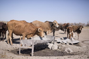 Cattle - Botswana, Africa Terrestrial,ground,farmed land,farm land,farmland,Farming,industry,farm,environment,ecosystem,Habitat,Xeric,Desert,Livestock grazing,livestock,Agricultural,Agriculture,dry,Arid,Cattle,Bos taurus