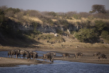 Blue wildebeest at water - Botswana, Africa River,rivers,action,movement,move,Moving,in action,in motion,motion,migration,migrate,Migratory,travel,Blue wildebeest,Connochaetes taurinus,Mammalia,Mammals,Even-toed Ungulates,Artiodactyla,Bovidae,B