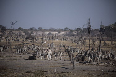 A herd of plains zebra - Botswana, Africa herds,gamming,Herd,herding,assemble,Plains zebra,Equus quagga,Chordates,Chordata,Perissodactyla,Odd-toed Ungulates,Equidae,Horses, Donkeys, Zebras,Mammalia,Mammals,painted zebra,common zebra,Equus bur