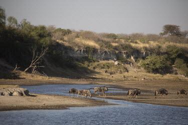 Blue wildebeest crossing water - Botswana, Africa herds,gamming,Herd,herding,assemble,River,rivers,migration,migrate,Migratory,travel,Plains zebra,Equus quagga,Chordates,Chordata,Perissodactyla,Odd-toed Ungulates,Equidae,Horses, Donkeys, Zebras,Mamma