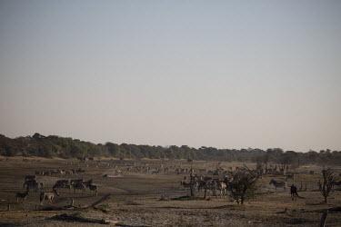 A herd of plains zebra - Botswana, Africa Plains,plain,Human impact,human influence,anthropogenic,environment,ecosystem,Habitat,Grassland,herds,gamming,Herd,herding,assemble,Terrestrial,ground,Plains zebra,Equus quagga,Chordates,Chordata,Peri