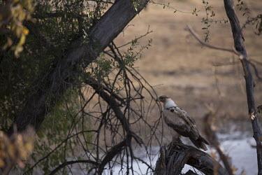 Tawny eagle - Botswana, Africa Tawny eagle,Aquila rapax,Falconiformes,Hawks Eagles Falcons Kestrel,Chordates,Chordata,Accipitridae,Hawks, Eagles, Kites, Harriers,Aves,Birds,Aigle ravisseur,Semi-desert,Flying,Aquila,Desert,Carnivoro