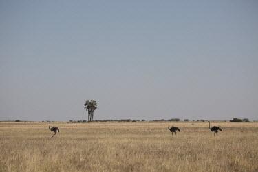 Ostrich - Botswana, Africa Terrestrial,ground,Plains,plain,environment,ecosystem,Habitat,Grassland,savannahs,savana,savannas,shrubland,savannah,Savanna,Ostrich,Struthio camelus,Ostriches,Struthionidae,Aves,Birds,Struthioniforme