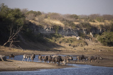 Blue wildebeest at water - Botswana, Africa migration,migrate,Migratory,travel,action,movement,move,Moving,in action,in motion,motion,River,rivers,Blue wildebeest,Connochaetes taurinus,Mammalia,Mammals,Even-toed Ungulates,Artiodactyla,Bovidae,B