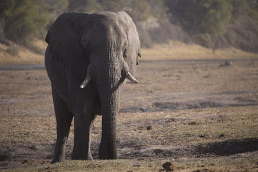 African elephant - Botswana, Africa African elephant,Loxodonta africana,Elephants,Elephantidae,Chordates,Chordata,Elephants, Mammoths, Mastodons,Proboscidea,Mammalia,Mammals,savanna elephant,Loxodonta africana africana,�l�phant d'Afriqu