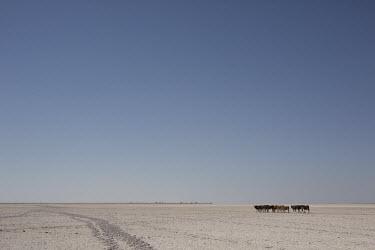 Cattle - Botswana, Africa environment,ecosystem,Habitat,Terrestrial,ground,Xeric,Desert,Livestock grazing,livestock,Agricultural,Agriculture,farmed land,farm land,farmland,Farming,industry,farm,dry,Arid,Cattle,Bos taurus