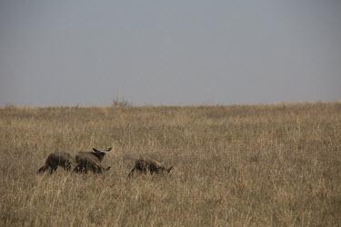 Bat-eared fox - Botswana, Africa Plains,plain,Grassland,savannahs,savana,savannas,shrubland,savannah,Savanna,Terrestrial,ground,environment,ecosystem,Habitat,Bat-eared fox,Otocyon megalotis,Mammalia,Mammals,Dog, Coyote, Wolf, Fox,Can