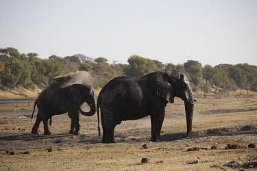 African elephant - Botswana, Africa family,African elephant,Loxodonta africana,Elephants,Elephantidae,Chordates,Chordata,Elephants, Mammoths, Mastodons,Proboscidea,Mammalia,Mammals,savanna elephant,Loxodonta africana africana,�l�phant d