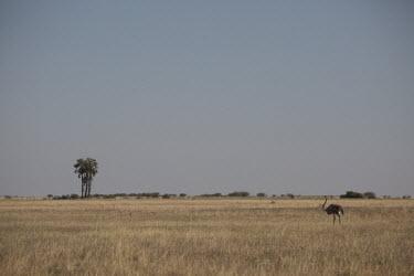 Ostrich - Botswana, Africa Terrestrial,ground,environment,ecosystem,Habitat,savannahs,savana,savannas,shrubland,savannah,Savanna,Grassland,Plains,plain,Ostrich,Struthio camelus,Ostriches,Struthionidae,Aves,Birds,Struthioniforme