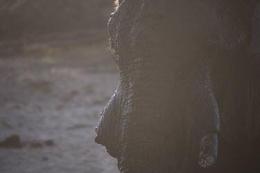 African elephant - Botswana, Africa Atmospheric,Close up,Portrait,face picture,face shot,African elephant,Loxodonta africana,Elephants,Elephantidae,Chordates,Chordata,Elephants, Mammoths, Mastodons,Proboscidea,Mammalia,Mammals,savanna e